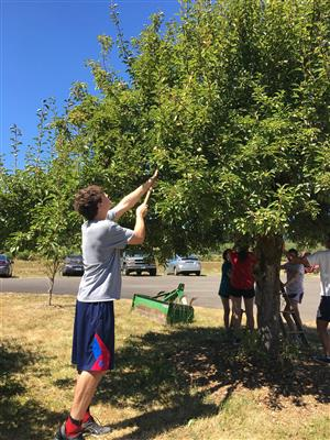 A West Linn-Wilsonville student prunes a tree at the CREST Farm.
