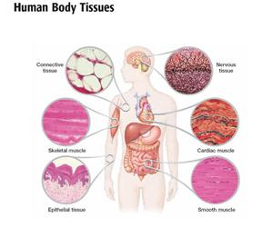 Body Tissues