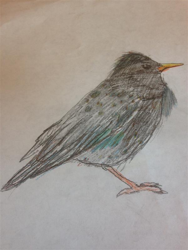 West Linn Ecosystems / European Starling
