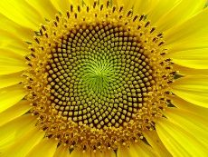 Why was Fibonacci so excited about sunflowers?